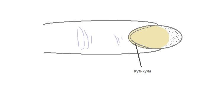 кутикула ногтя